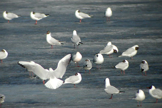 Mouettes rieuses