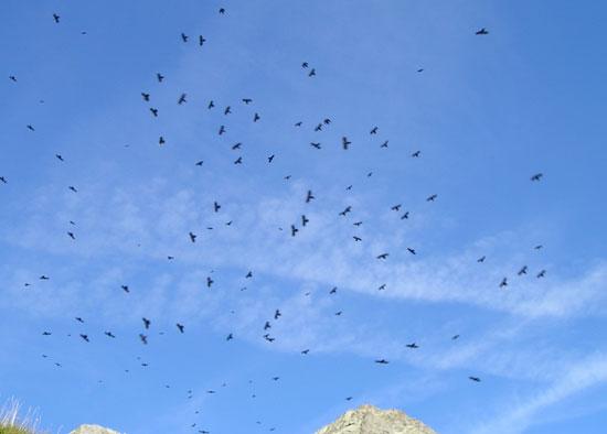 Vol de chocards dans les Ecrins