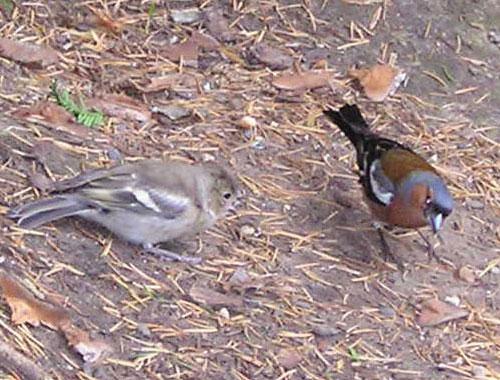 Pinson femelle et mâle (photo joce)