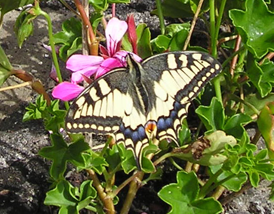 Machaon Grand porte queue - Oise - photo Joce