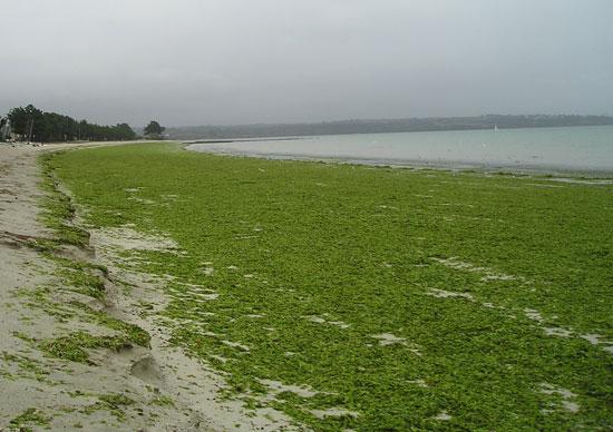 Algues vertes en Bretagne - photo Joce