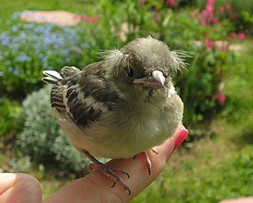 Pinson oisillon sorti du nid -1 jour (photo Joce)