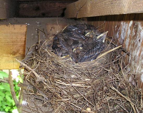 nid de merle avec oisillons 5 jours - photo Joce