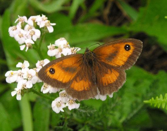 papillon amaryllis (Pyronia tithonus) - photo Joce