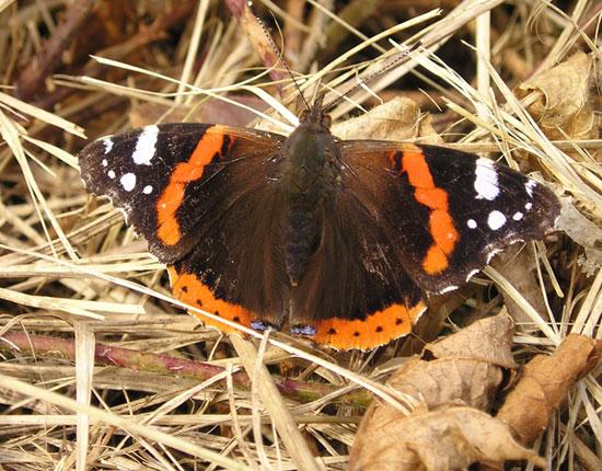 Papillon Vulcain (vanessa atalanta) - photo Joce