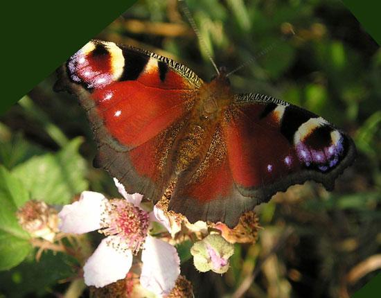 Papillon Paon du jour (inachis io) - photo Joce