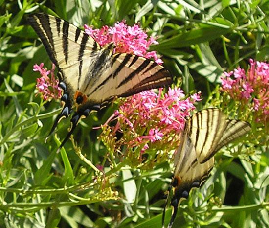 Papillons Flambés (Iphiclides podalirius) Ardèche - Photo Joce