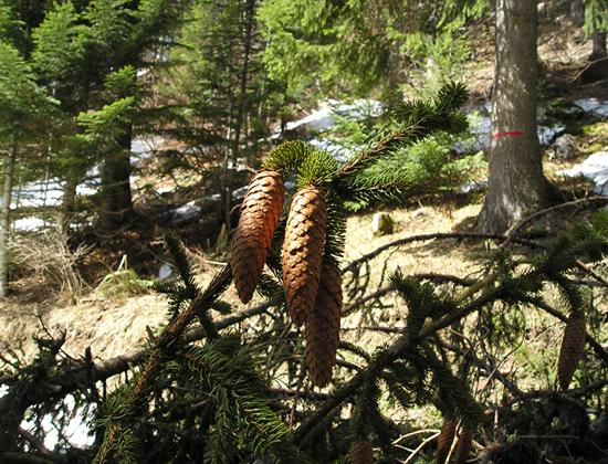Forêt de résineux (Vercors) - photo Joce
