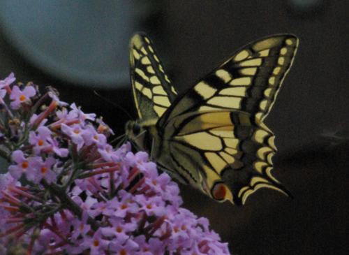 Machaon vu de côté : photo Joce