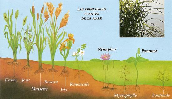 les principales plantes de la mare