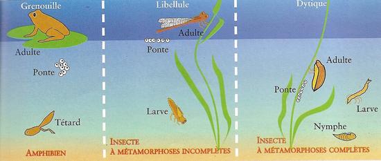 Reproduction animaux dans la mare