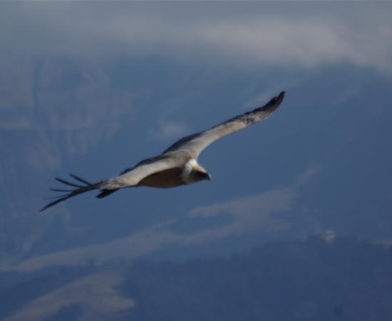 Vautour fauve dans les Alpes - Photo Ph. Morize