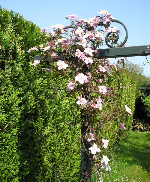 clématite rose sans taille - photo Joce