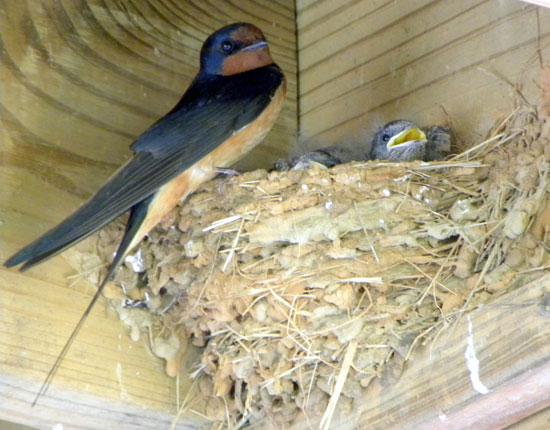destruction de nids d 39 hirondelles. Black Bedroom Furniture Sets. Home Design Ideas