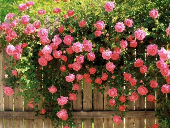 Jardin de roses for Jardin roses