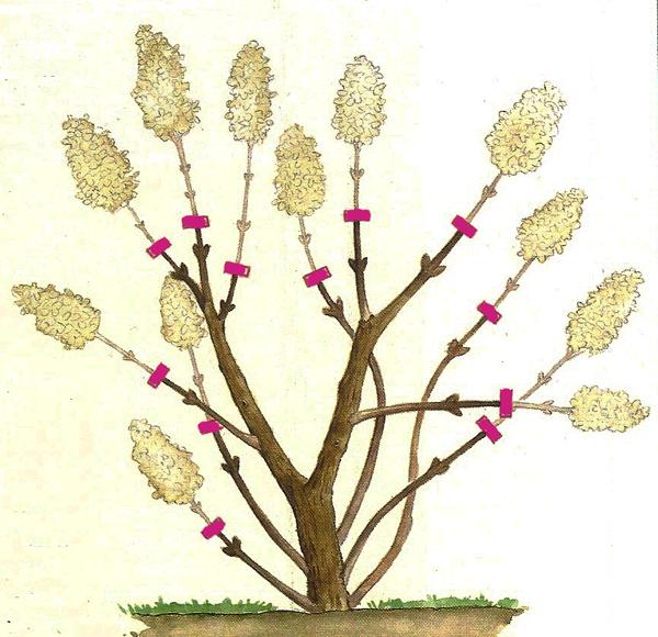Taille  hydrangea paniculata