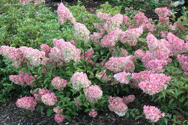 arbuste hydrangea paniculata rose