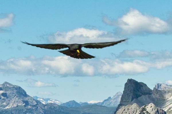 Chocard en vol (Dolomites - Alpes - Refuge Lavaredo)