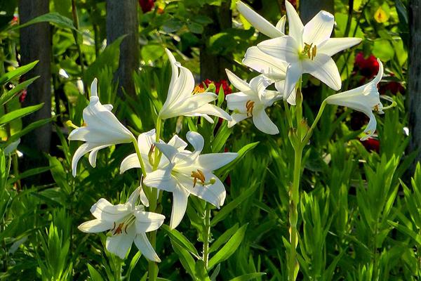 Lys blancs au jardin