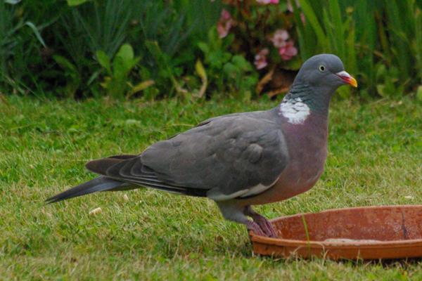 chant pigeon ramier