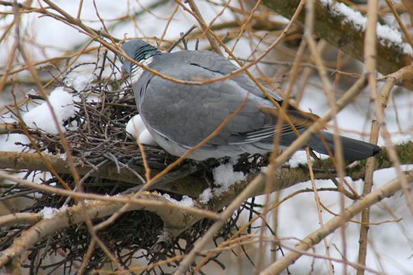 Nid de pigeon ramier