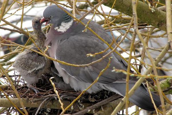 Nid de pigeon ramier avec jeune oisillon