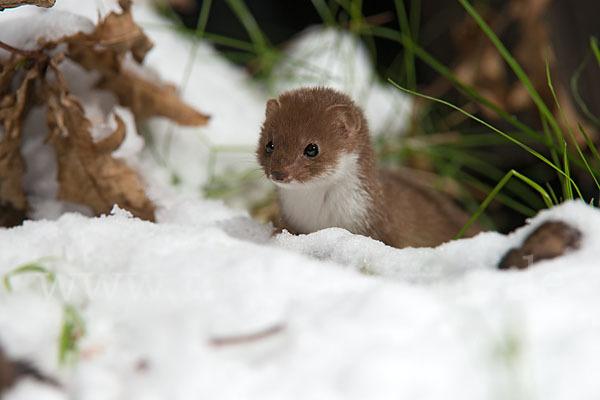 Belette en hiver