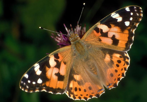 Papillon vanesse Belle dame