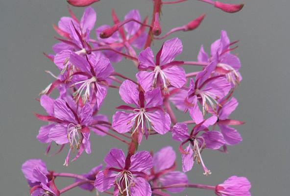 Fleurs d'épilobe