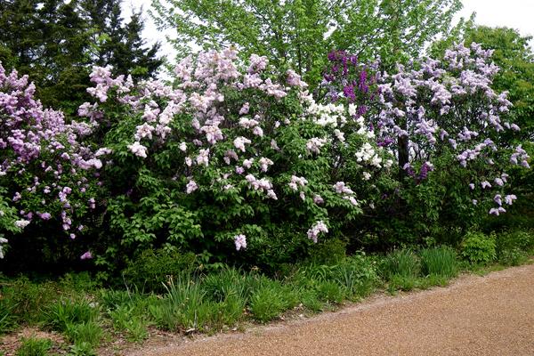 Haie champêtre avec lilas
