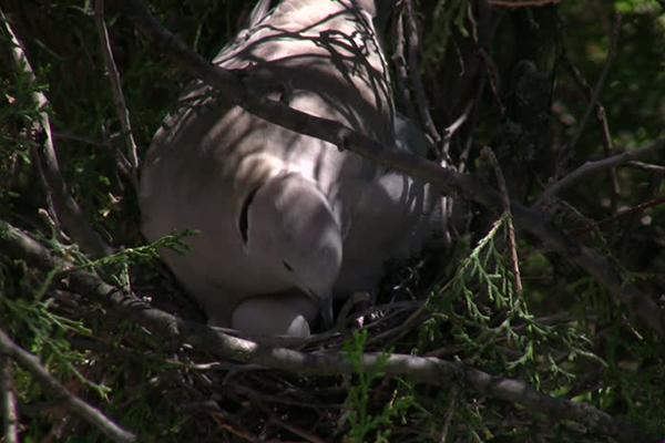 nid de tourterelle