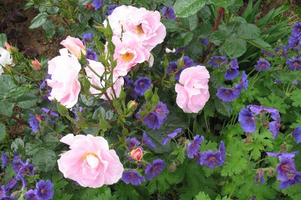 Rosier et  petites fleurettes
