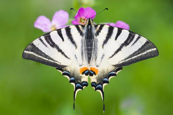 Papillon flambé ( Iphiclides podalirius)