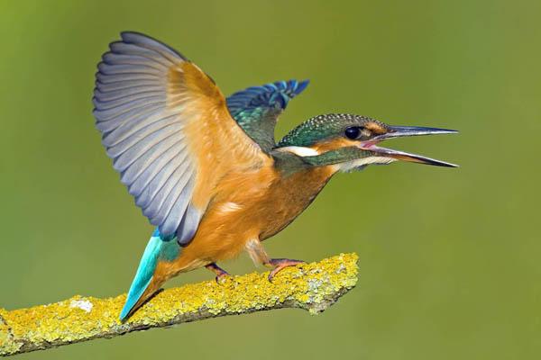 Les ailes colorées du Martin-Pêcheur