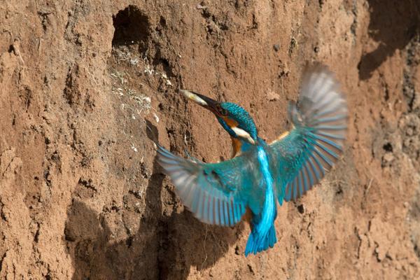 Entrée de nid d'un Martin-Pêcheur