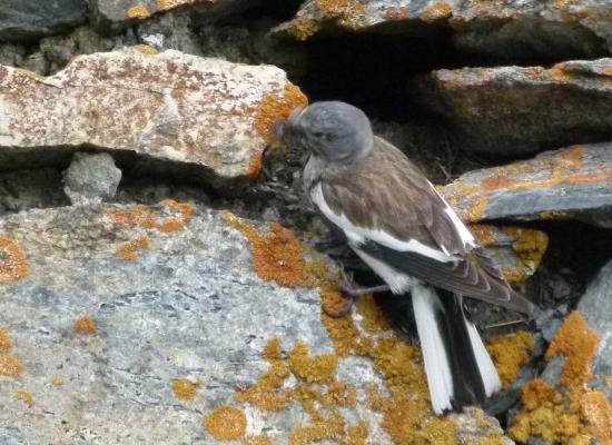 Niverolle alpine et nid