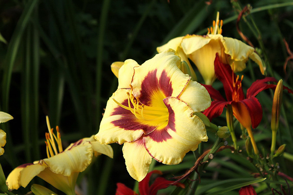 Hemerocallis  bicolore
