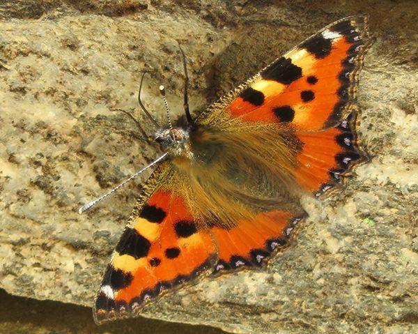Papillon Vanesse Petite Tortue - Juin 2017 - Tyrol - 1500 m altitude