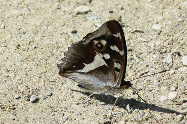 Grand Mars changeant - Apatura iris