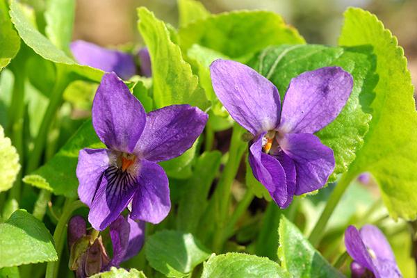 Violettes odorantes