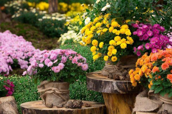 Chrysanthèmes en décoration terrasse ou balcon