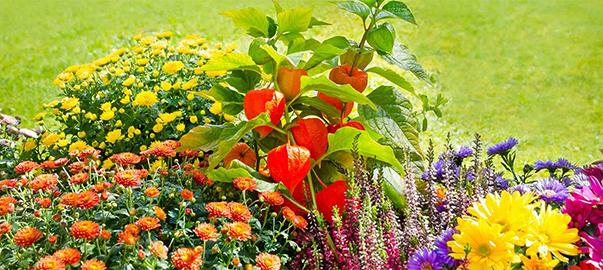 Chrysanthèmes au jardin en massif...