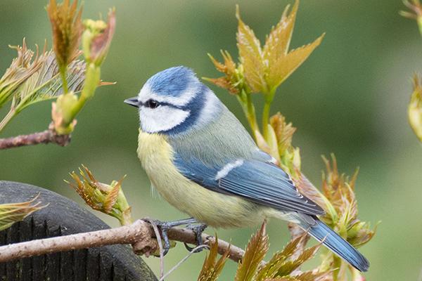 Mésange bleue au printemps