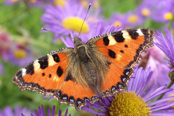 Papillon Vanesse Petite Tortue - Aglais Urticae