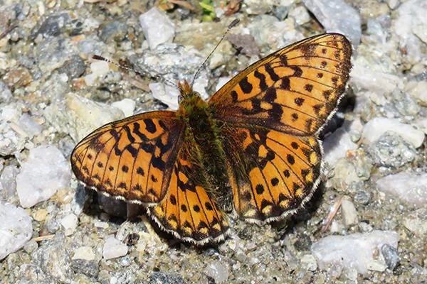 Papillon Petit collier argenté, (boloria selene) tyrol