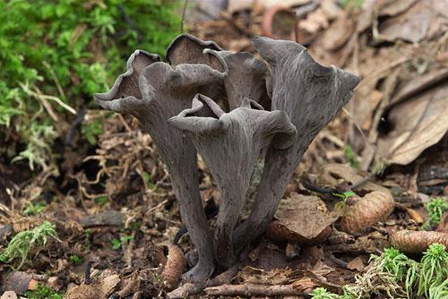 Trompette de la mort - Comment cuisiner les trompettes de la mort champignons ...